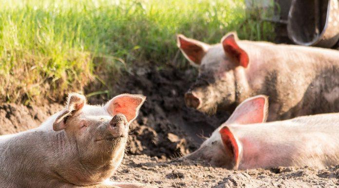 Fröhliche Schweine / Pixabay