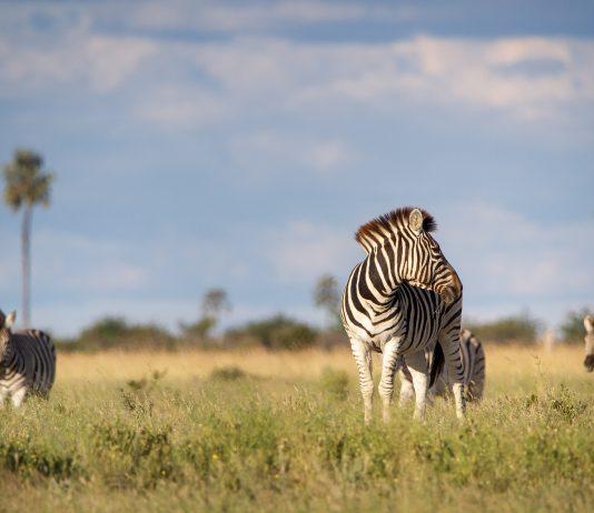 Zebra / Pixabay